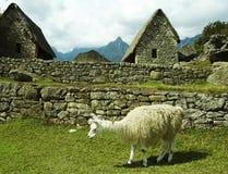 Llama in Machu-Picchu city. Ruins and llama in the lost incas city Machu-Picchu,Peru Royalty Free Stock Photography