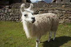 Llama in the Machu-Picchu city. White llama close ap in the Peru Stock Image
