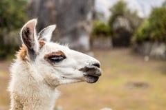 Llama at Machu Picchu, Cusco, Peru, South America. A UNESCO World Heritage Site royalty free stock photo