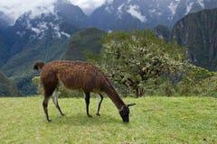 Llama at Machu Picchu, Cuzco,Peru Stock Images