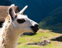 Llama at Machu Picchu. Incas ruins in the peruvian Andes at Peru Royalty Free Stock Photography