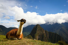 Llama in Machu Picchu. A peaceful llama witnessing unique views of Inca ruins in Peru Stock Photos