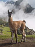 Llama at Machu Picchu (Peru). Llama portrait at Machu Picchu (Peru stock photos
