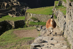 Llama at Machu Picchu,  Peru Royalty Free Stock Images