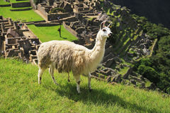 Llama at Machu Picchu,  Peru Royalty Free Stock Photo