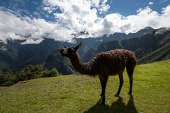 Llama at Machu Picchu Peru. Machu Picchu is is a 15th-century Inca citadel situated on a mountain ridge 2,430 metres 7,970 ft above sea level.[2][3] It is Royalty Free Stock Image