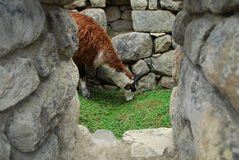 Llama in Machu Picchu, Peru Royalty Free Stock Images
