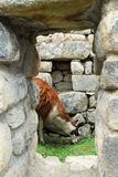 Llama in Machu Picchu, Peru Stock Images