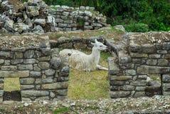 Llama in Machu Picchu, Peru Stock Photography