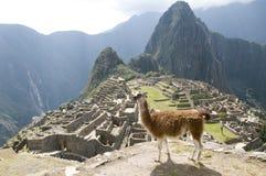 Llama in Machu Picchu ruins stock photography