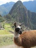 Llama at Machu Picchu. Llama with a view of Machu Picchu and Huayna Picchu, Peru Stock Photo
