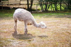Llama on the meadow Royalty Free Stock Photo