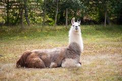 Llama on the meadow Stock Photo