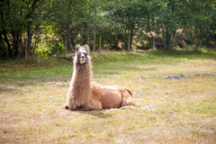 Llama on the meadow Royalty Free Stock Image