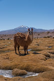 Llama on meadow Stock Photos