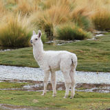 Llama on the meadow. In Patagonia Stock Image