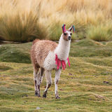 Llama on the meadow Royalty Free Stock Photos