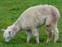 Llama in a meadow royalty free stock photos