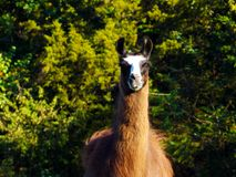 Portrait of Choco the Majestic Llama. The llama is a member of the Camelidae family and are native to South America. They are thought to be originally from North Royalty Free Stock Images