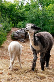 Llama. Mother Llama with her child Stock Images