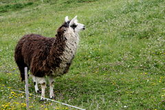 Llama on the mountain Royalty Free Stock Image
