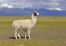 Llama in mountain environment Royalty Free Stock Photos