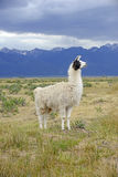 Llama in mountain environment Royalty Free Stock Images
