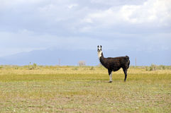 Llama in mountain environment Royalty Free Stock Photo