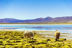 Llama by mountain lagoon in the Altiplano in Bolivia Royalty Free Stock Photos