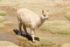 Llama in a mountain landscape, Peru Stock Photos