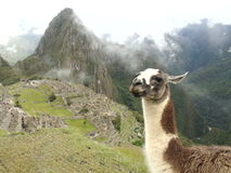 LLama in the mountain of Peru. The classic photo of Machu Picchu with the llama but with an authentic view Stock Photo
