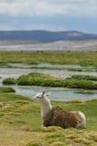 Llama, mountains of bolivia Stock Image
