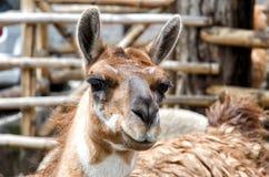 Llama. Near the city of Quito in Ecuador stock photography