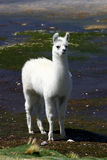Llama near the Read Lagoon Royalty Free Stock Images