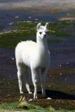 Llama near the Read Lagoon Royalty Free Stock Images