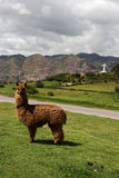 Llama near the statue of White Christ in Cusco, Peru Royalty Free Stock Photography