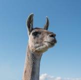 Llama Neck and Head Stock Image