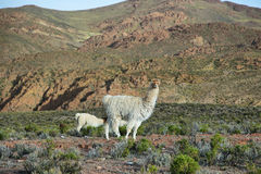 Llama in northern Argentina Royalty Free Stock Images