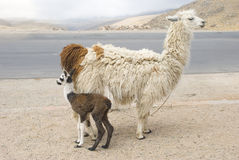 Llama och barn Royaltyfria Foton