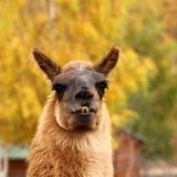 Llama over autumn background Royalty Free Stock Photography