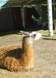 Llama in paddock. In zoo Royalty Free Stock Images