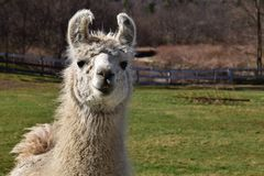 Llama in a Pasture. White llama looking straight ahead in a fenced in pasture stock images