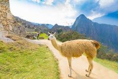 Llama on the path of Machu Picchu stock photography