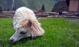 Llama from Peru. This animal `Llama` is an attraction of the town of Ollantaytambo and abundant in the Puna of Peru. It is a pity that in the time of the Incas Stock Photography