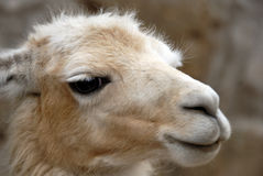 Llama peruana foto de archivo