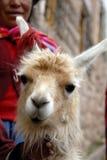 Llama peruana Fotografía de archivo