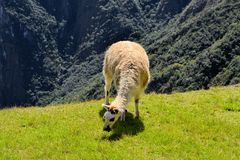 Llama in the Peruvian Andes mountains Royalty Free Stock Image