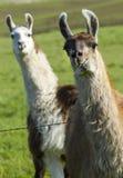 Llama photo bomb. Royalty Free Stock Images