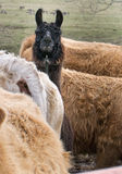 LLama poking it's head out of the crowd. Stock Images