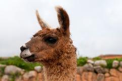Llama portrait Royalty Free Stock Image